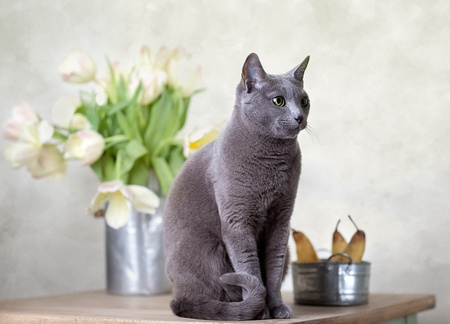 Russian Blue cat sitting on table with pears and tulips photo
