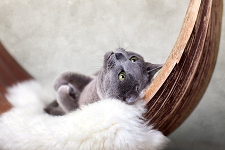 Cat relaxing on lambskin in palm leaf bed. Stock Photo