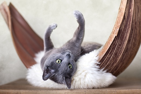 Cat relaxing on lambskin,in palm leaf bed. Archivio Fotografico