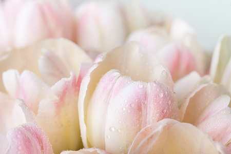Bouquet of pastel colored tulips with water drops photo