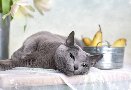 housecat: Russian Blue cat laying on table with bowl of fresh Pears and Tulips in the background