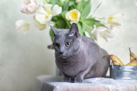 Russian Blue cat on Table with bowl of fresh Pears and Tulips photo