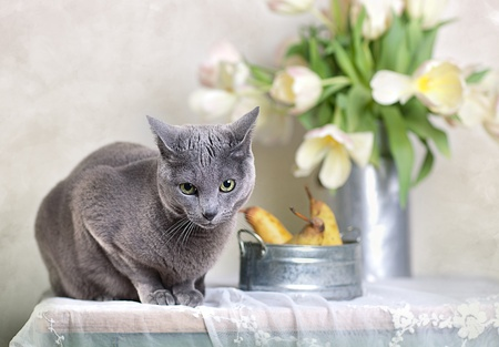 Russian Blue cat on Table with bowl of fresh Pears and Tulips in the background. photo