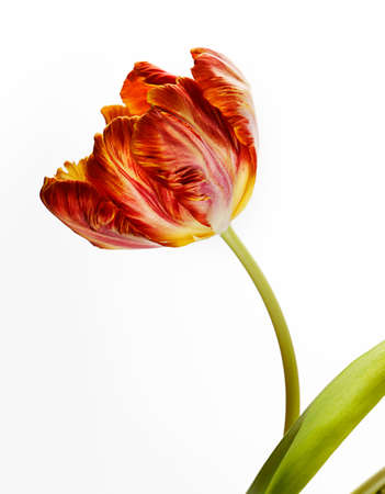 Beautiful solitary red and orange Tulip flower in spring photo