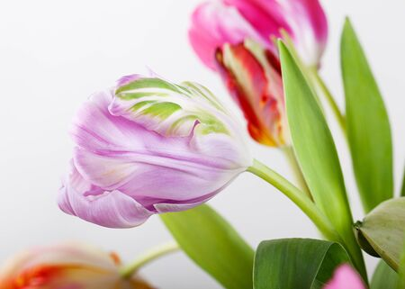 tulipa: Beautiful bright and colorful tulip blossoms in spring