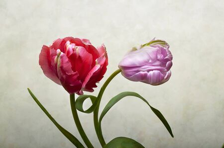Pair of beautiful Tulip blossoms in spring photo