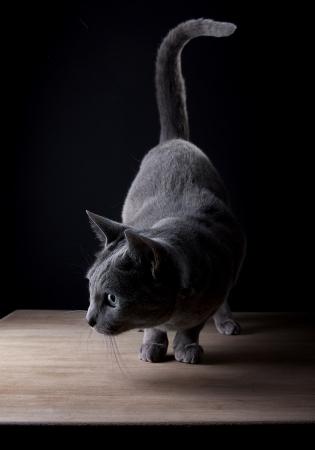 silueta gato: Estudio Retrato de un hermoso gato azul ruso contra el Fondo Negro Foto de archivo