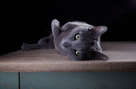 Studio Portrait of a beautiful Russian Blue Cat against Black Background photo