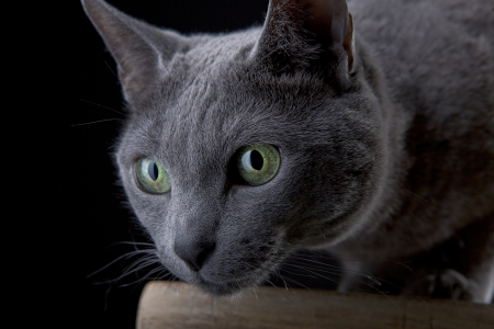 Studio Portrait of a beautiful Russian Blue Cat against Black Background Stock Photo - 12802492