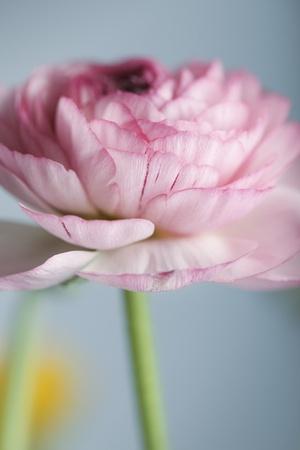 Studio Still Life with beautiful Persian Buttercup Flowers photo