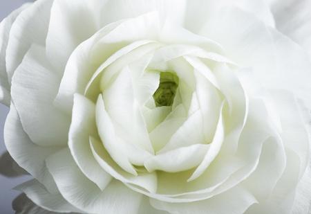 buttercup persian: Studio Natura morta con fiori bellissimi persiani Buttercup