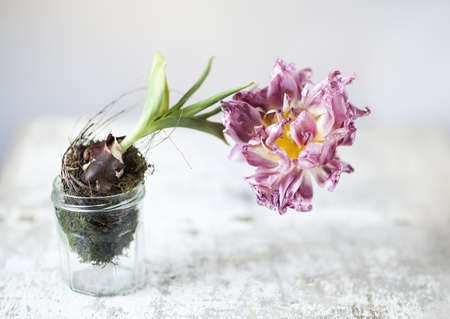 Studion Still-Life of almost withered Tulip flower in Glass Stock Photo