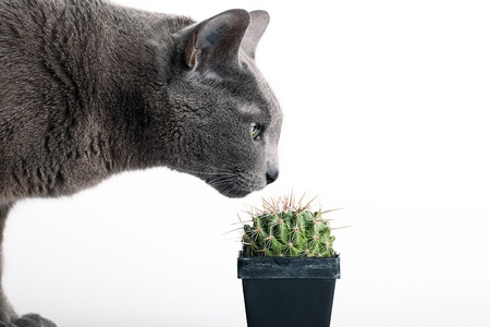 Closeup of an inquisitive grey cat inspecting a spiny cactus in a flowerpot isolated on white photo