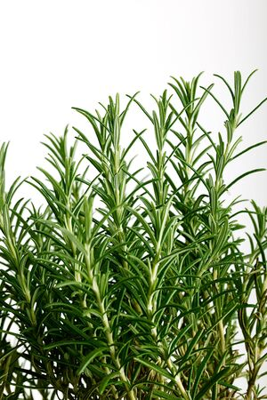 Fresh rosemary herb used in perfumery and in cooking as a flavouring for meat and poultry isolated on white photo