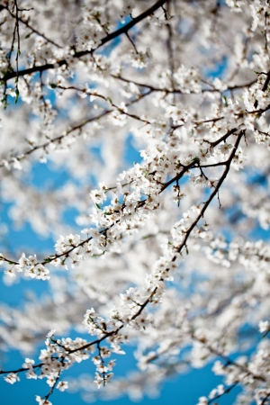 Freshly bloomed cherry tree on a sunny spring day Stock Photo