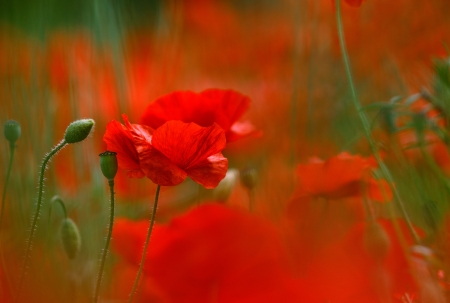 Field of bright red corn poppy flowers in spring photo