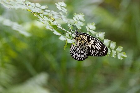 lepidopteran: Beautiful patterned Large Tree Nymph butterfly resting on the leaf of a maidenhair fern with wings closed