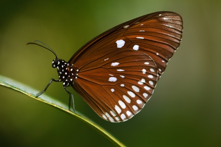 lepidopteran: Close up shot of beautiful brown butterfly on green background