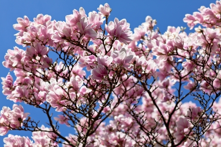 Flowering magnolia tree densely covered with beautiful fresh stock flowering magnolia tree densely covered with beautiful fresh pink flowers stock photo 14823239 mightylinksfo