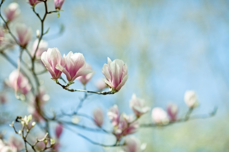 Flowering magnolia tree densely covered with beautiful fresh pink flowers photo