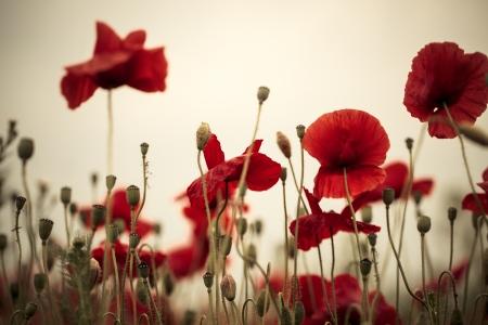 field of corn poppy flowers: Field of bright red corn poppy flowers in spring