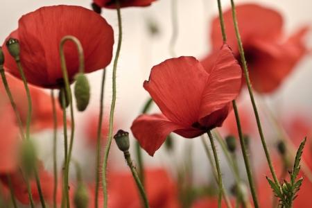 Field of bright red corn poppy flowers in spring