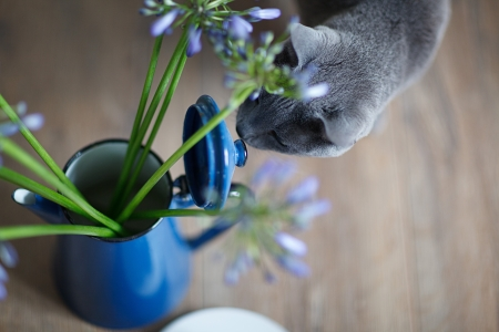 true bred: Curious Cat is inspecting blue flowers in old tin can Stock Photo