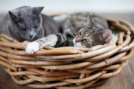 nestle: Two sleepy cats cuddling in wicker basket Stock Photo