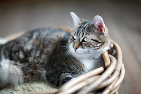housecat: Three-Colored Housecat lying in wooden wicker basket