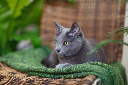 true bred: Purebred Russian Blue cat lying on green woolen cloth Stock Photo