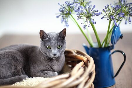 Purebred Russian Blue cat in wickerbasket with blue flowers photo