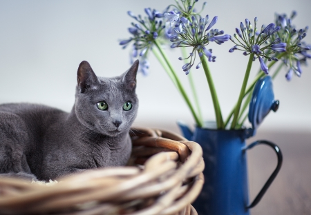 Purebred Russian Blue cat in wickerbasket with blue flowers