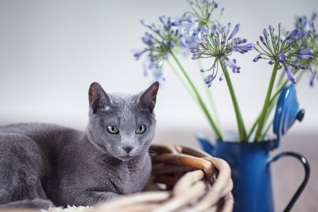 true bred: Purebred Russian Blue cat in wickerbasket with blue flowers