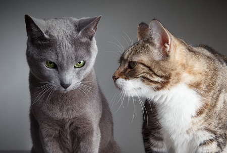 true bred: Portrait of Russian Blue and Three-Colored Housecat  Stock Photo