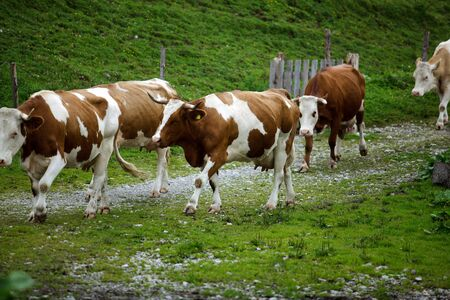 ruminate: Milk Cows in the Austrian Alps on the Mountain Pasture