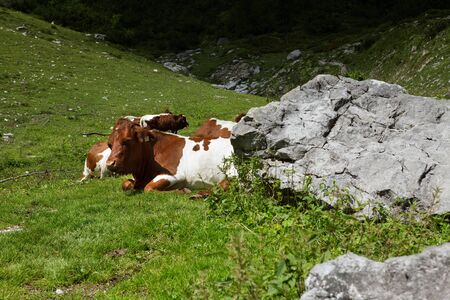Milk Cows in the Austrian Alps on the Mountain Pasture photo