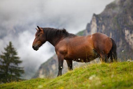 Horses in the Austrian Alps on the Mountain Pasture photo
