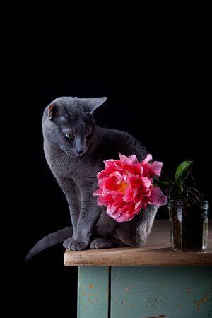 russian blue: Studio shot of beautifil purebred Russian Blue cat and Tulip blossom
