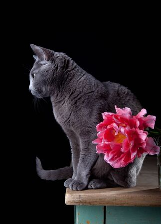 true bred: Studio shot of beautifil purebred Russian Blue cat and Tulip blossom