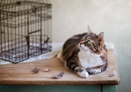 pretender: Cat looking for bird near cage with feathers on table Stock Photo
