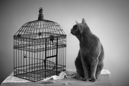 true bred: Cat looking for bird near cage with feathers on table Stock Photo