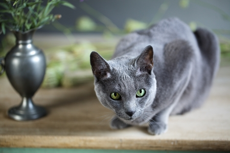 true bred: Still-Life with Flowers and Russian Blue Cat Stock Photo