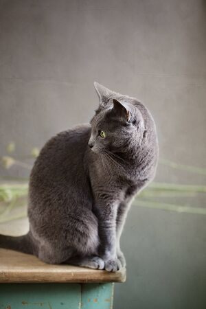 true bred: Portrait of a beautiful purebred Russian Blue Cat Stock Photo
