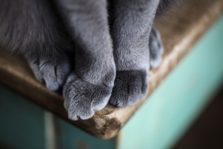 true bred: Detail shot of soft Cat paws while sitting on table