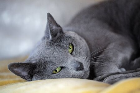 true bred: Portrait of a sleepy purebred Russina Blue Cat
