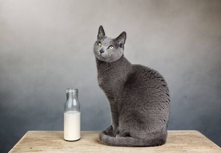 true bred: Portrait of a Russian Blue house cat with milk in bottle