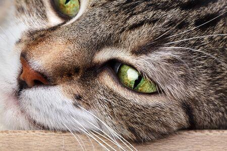 housecat: Studio Portrait of a beautiful adult three colored european housecat