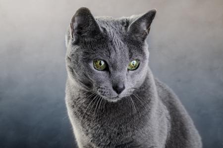 true bred: Studio portrait of an elegant purebred Russian Blue Cat