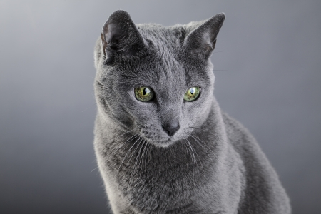 Studio portrait of an elegant purebred Russian Blue Cat photo