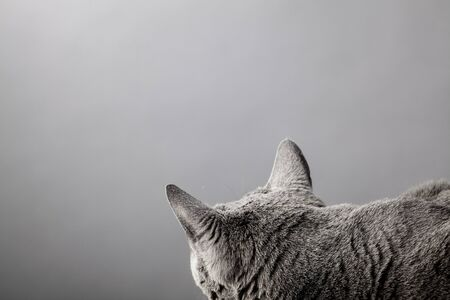 true bred: Studio portrait of an elegant purebred Russian Blue Cat